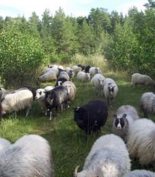 pientilatori_nokka_lammas_ahvenanmaaMH