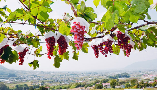 Japani matkalla viinimaaksi Koshu
